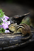 Chippy Photos - Taking Time to Smell the Flowers by Rob Travis