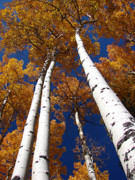 Aspen Fall Colors Photos - Tall Aspen by Diana Douglass