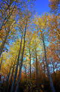 Eastern Sierra Gallery - Tall Aspens