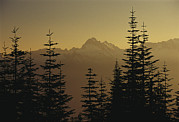 Fir Trees Prints - Tall Fir Trees Are Silhouetted Print by Raymond Gehman
