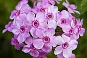 Phlox Metal Prints - Tall Garden Phlox Metal Print by Teresa Mucha