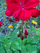 Red Geraniums Prints - Tall Geranium Flower and Buds Print by Padre Art