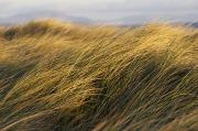 Color Bending Prints - Tall Grass Blowing In The Wind Print by Peter McCabe