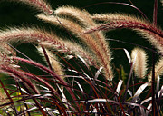 Jim Nelson Framed Prints - Tall Grass Framed Print by Jim Nelson