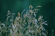 Tall Grass Seeds Print by Jaye Crist
