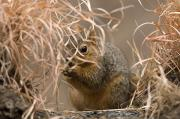Fox Squirrel Art - Tall Grasses Make Up A Fox Squirrels by Joel Sartore