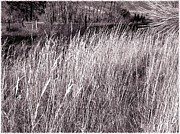 Wild Grass Posters - Tall Grasses Poster by Will Borden