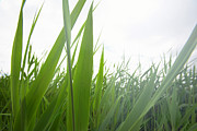 Green Blade Of Grass Posters - Tall Lake Grass Poster by Ryan McVay