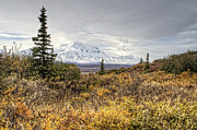 Alaska Photos - Tall Spruce beneath Denali by Thomas Payer