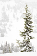 Lasiocarpa Posters - tall thin Subalpine Fir in a snowstorm at Paradise Valley Mount Poster by Ed Book