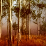 Mist Prints - Tall Timbers Print by Holly Kempe