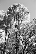 Metal Signs Digital Art Posters - TALL TREES in CENTRAL PARK in BLACK AND WHITE Poster by Rob Hans
