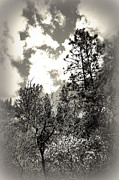 Tall Trees In Lake Shasta Print by Garnett  Jaeger