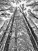 Snowstorm Art - Tall Trees by June Marie Sobrito