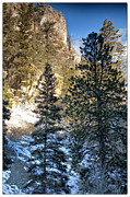 Mountain In Snow Posters - Tall Trees Poster by Lisa  Spencer