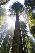  Tall Trees Prints - Tall Trees of Redwood National Park Print by Pierre Leclerc