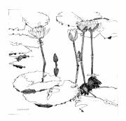 Line Art Drawings - Tall Water Lilies by John Lautermilch