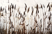 Snow Scene Framed Prints - Tall Winter Grass Framed Print by Terence Davis