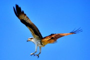 Osprey Florida Framed Prints - Talon Soar Framed Print by Emily Stauring