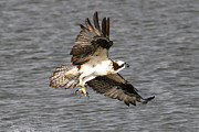 Osprey Prints Framed Prints - Talons Framed Print by Paul Marto