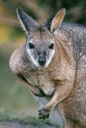 Wallaby Photos - Tamma Wallaby by Greg Vaughn - Printscapes