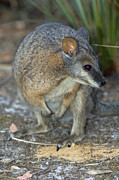 Wallaby Photos - Tammar Wallaby by Tony Camacho