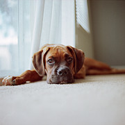 Boxer Photo Framed Prints - Tan Boxer Puppy Laying On Carpet Near Window Framed Print by Diyosa Carter