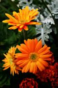Tangerine Colored Gerbera Daisies Print by Kay Novy