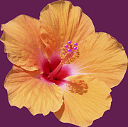 Beautiful Purples Prints - Tangerine Hibiscus Print by Karen Nicholson
