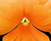 Tangerine Originals - Tangerine Impatiens by Laura Pineda