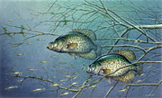 Fish Painting Posters - Tangled Cover Crappie II Poster by JQ Licensing