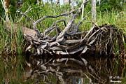 Barbara Bowen - Tangled Cypress Roots