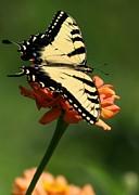 Tantalizing Tiger Swallowtail Butterfly Print by Sabrina L Ryan