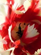 Sandy Fisher - Tantalizing Tulip