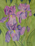 Botanical Drawings - Tanyas Iris by John Edebohls