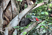 Pileated Woodpecker Photos - Tap Tap Tap by Deborah Benoit