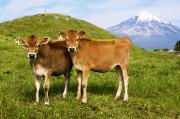 Pastureland Photo Prints - Taranaki, Dairy cows Print by Himani - Printscapes