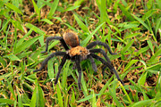 Creepy Digital Art Metal Prints - Tarantula Metal Print by Ms Judi