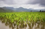 Hawaiian Food Photos - Taro field by Ron Dahlquist - Printscapes