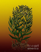 Carotene Prints - Tarragon, Perennial Herb Print by Science Source