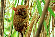 Alien Bug Photos - Tarsier in the bush by Tony Magdaraog