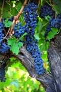 Syrah Photo Metal Prints - Tasty Clusters Metal Print by Laurel Sherman