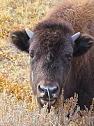 American Bison Prints - Tatanka Tot Print by Stacy La Salle