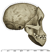 Taung Child Skull Print by Sheila Terry