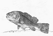 Fish Underwater Drawings - Tautog by Kathleen Kelly Thompson