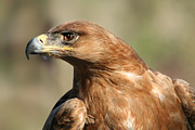Eagle Framed Prints - Tawny Eagle Framed Print by Julie L Hoddinott