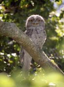 Barry Culling Art - Tawny Frogmouth by Barry Culling