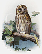 Bird Drawing Posters - Tawny Owl, Historical Artwork Poster by Sheila Terry