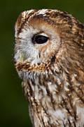 Captive Originals - Tawny owl Strix aluco by Gabor Pozsgai