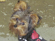 Tiny Dogs Photos - Tea Cup Silkie Terrier by Jackie Popp
